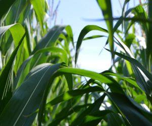 Fosseway Fun Farm Maize Maze