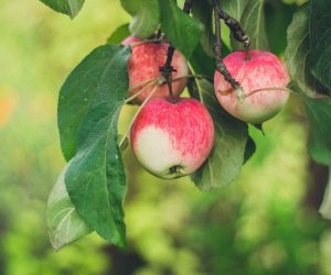 Apple Tree at Fosseway Garden Centre